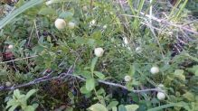 Valkoisia-mustikoita-maastossa-Hirvonen