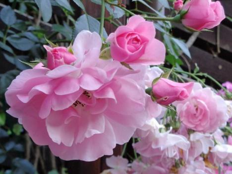 Ruusuni