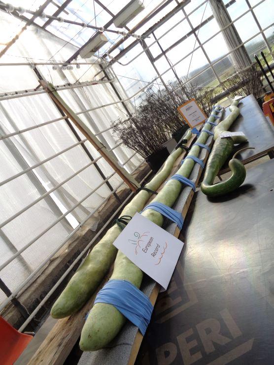 Európa-rekord uborka 218 cm hosszú !