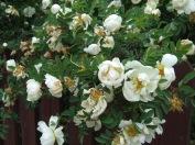 Juhannus-rózsa